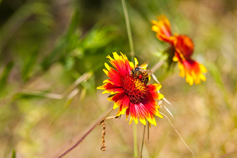 "Twin Firewheels or Indian Blanket (Gaillardia pulchella) South Austin, Texas<br /> <br /> My Facebook Blog - <a href=""https://www.facebook.com/pages/Mark-Everett-Weaver-Photographer/163004207059413?ref=hl"">https://www.facebook.com/pages/Mark-Everett-Weaver-Photographer/163004207059413?ref=hl</a><br /> <br /> Purchase Prints, Framed Prints, Canvas Prints, Metal Prints, and On a Acrylic as well through this link - <a href=""http://fineartamerica.com/featured/indian-fire-wheels-with-bee-mark-weaver.html"">http://fineartamerica.com/featured/indian-fire-wheels-with-bee-mark-weaver.html</a>"
