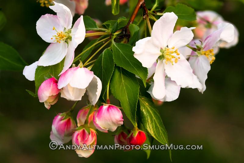 Flowering Crabapple
