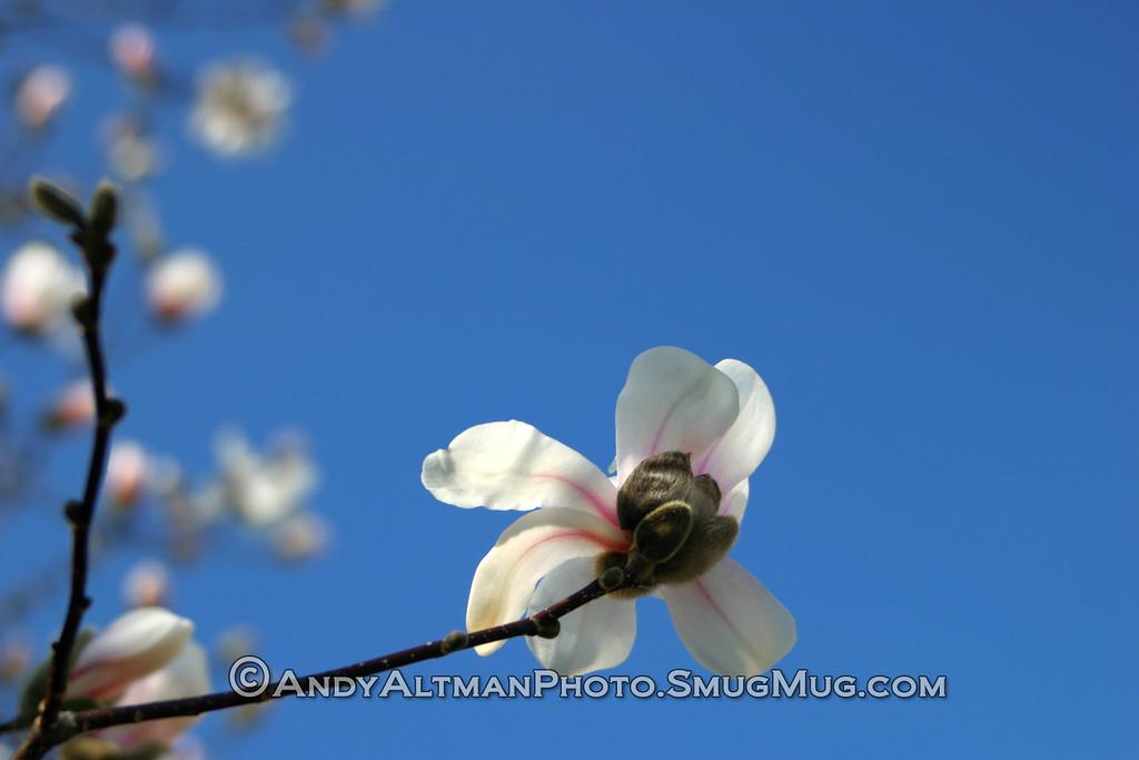 White Magnolia (2)