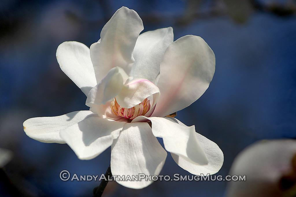 White Magnolia (1)