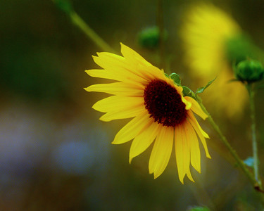 I hope this brightens your day!  Wild Sunflower
