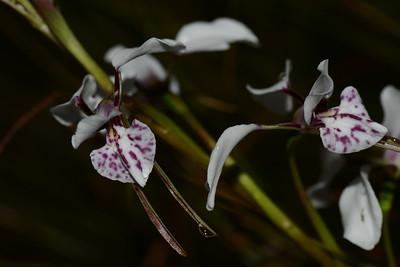 "White donkey orchid ""Diuris alba."""