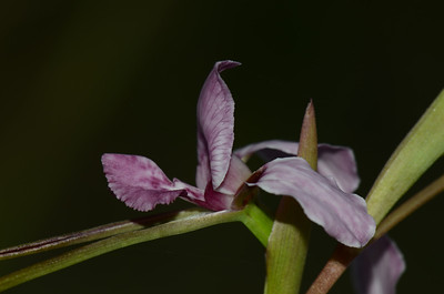 """""""Diuris punctata"""".  Note how the dorals petal forms a hood over the central column."""