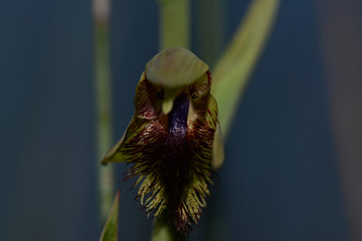 Copper Bearded Orchid