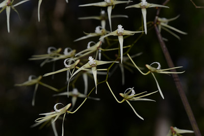 Pencil Orchids, which have some resemblance to the Tick Orchids, and are found at a remote place on the South Arm of the Wooli Wooli River.