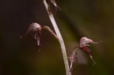 Pixies' Cap Orchid