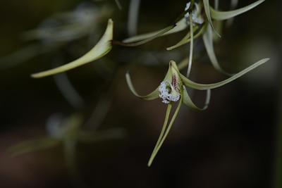 """Pencil Orchids, """"Dockrillia teretifolia"""". An epiphyte on paperbarks and casuarinas.  Spring flower.  Cylindrical leaves to 60 cm long from wiry stems."""