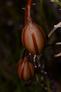 """Seed capsule of orchid, probably the Wallum Sun Orchid, """"Thelymitra purpurata"""".   We had to wait another year to confirm these flowers in the Powerlines area near Wooli."""