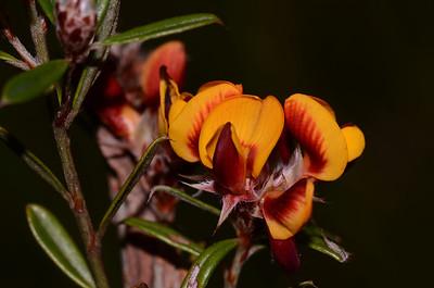 """Bossiaea heterophylla"""