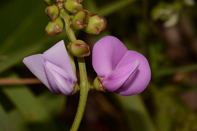 """Canavalia rosea"",   Sword Pea.  This is a fairly common dune top scrambler; there is a patch just south of my house at Wooli."
