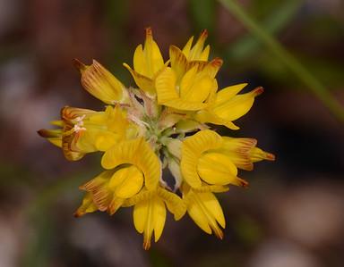 """""""Croatalaria sp. pr lanceolota"""""""