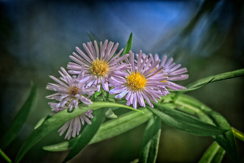 Aster blooms