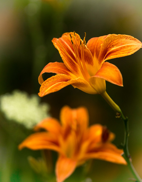 Tiger lily from Indiana
