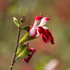Hot lips sage. Reminds me of birds