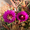 Cactus bloom in December with pollenator
