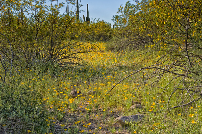 Trail of Poppies at Organ Pipe National Monument