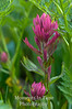 Pink paintbrush framed v