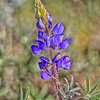 Lupine on Mountain