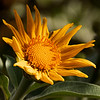 Arizona Sunflower