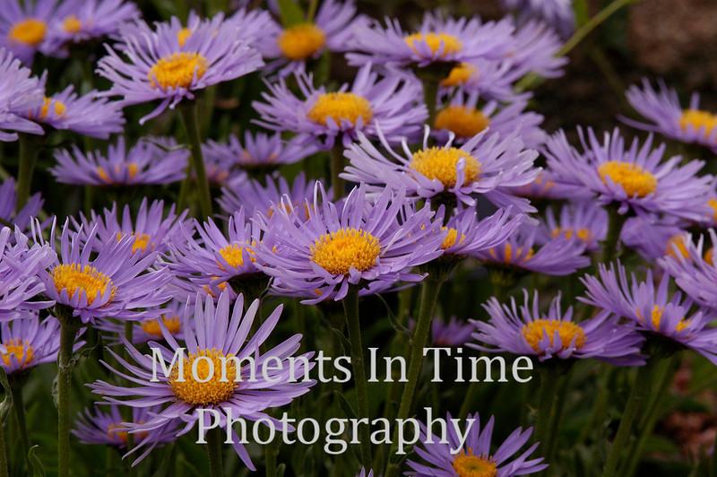 Field of purple asters