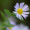 Single fleabane