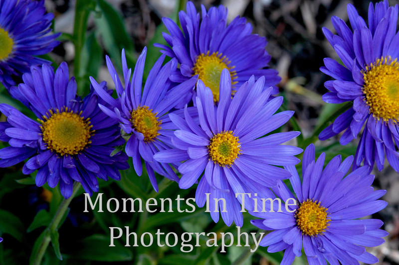 Blue alpine asters