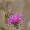 New Mexican Thistle with bee
