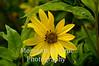 Yellow daisy leaf umbrella