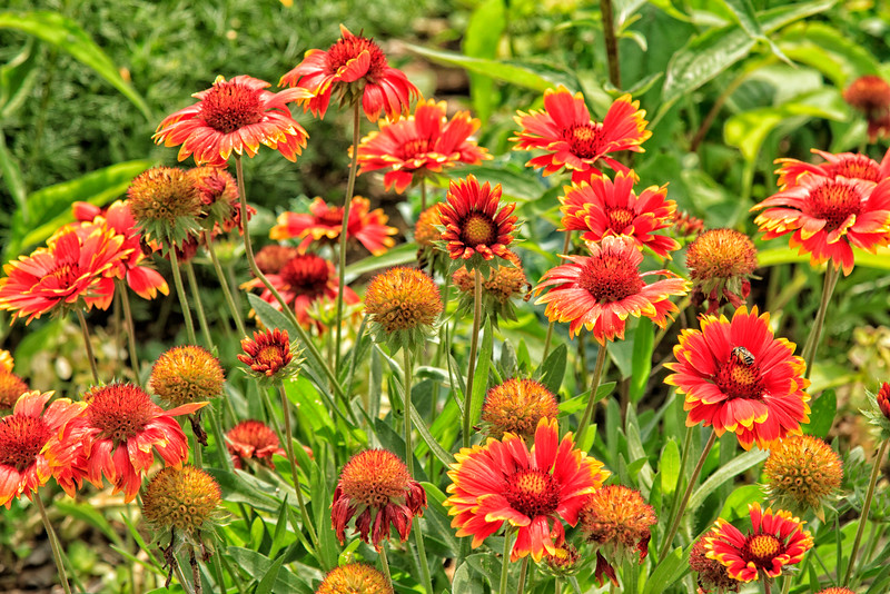 Firewall Blanketflower in Michigan
