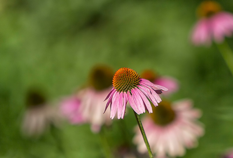 Coneflower in Indiana