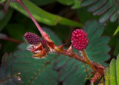 mimosaflower082410
