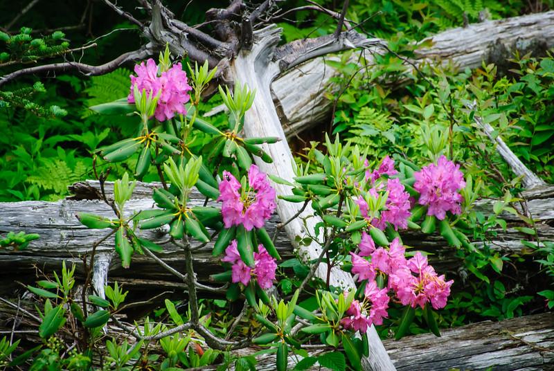 Mt. Mitchell Rhododendron