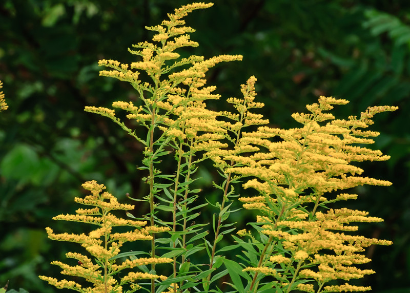 Goldenrod - Boone Greenway Trail
