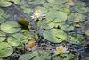 Bass Lake Lily Pads