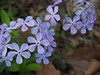 Blue woodland phlox, native to Pennsylvania