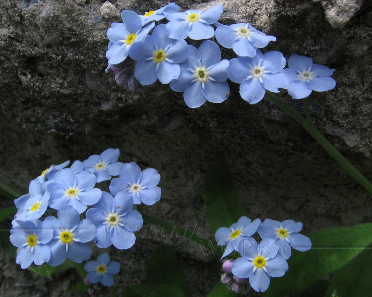 Forget-me-nots in rubble