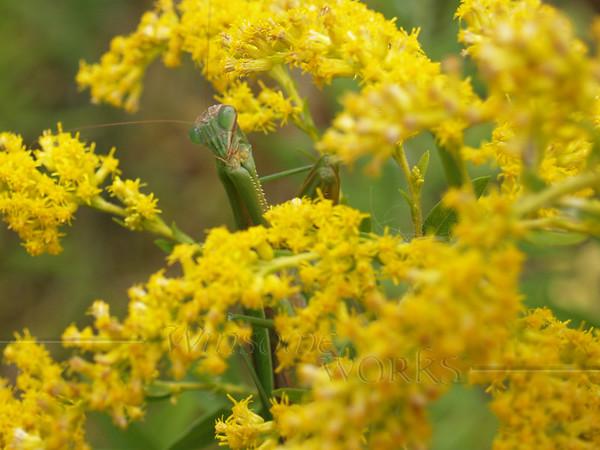 Preying Mantis in Goldenrod; September, Quakertown PA