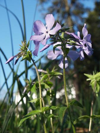 Blue woodland phlox, native to Pennsylvania