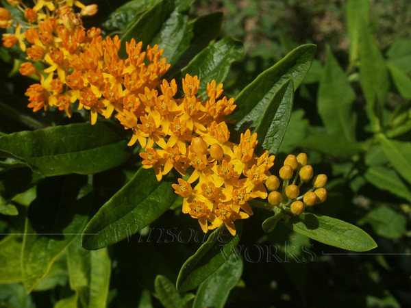 Butterfly Weed--  Asclepias tuberosa