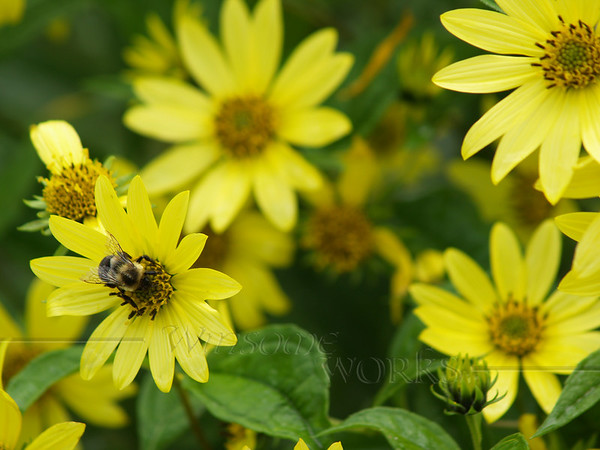 Bumblebee on Yellow Tickseed at Linden Hill Gardens; Ottsville, PA