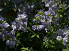 Jacob's Ladder (Polemonium caeruleum)-- our backyard