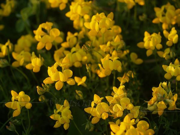 Birdsfoot  trefoil or Lotus Corniculatus wildflowers in Bucks County, Pennsylvania