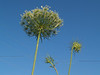 Queen Anne's Lace or wild carrot (Daucus carota) - Quakertown, PA