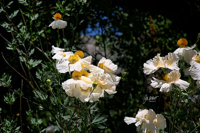 Matilija Poppy - outside Yosemite National Park - El Portal, Ca (June 2011)