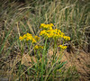 """Lambs Tongue Groundsel Flowers . . . I call them """"yellow flowers""""."""