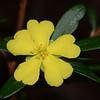 """""""Hibbertia monticola"""""""