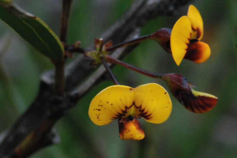 """Unknown pea, from Mt. Maroon, possibly """"Daviesia arborea""""from mountain top.  Flowers are perfumed which is unusual for peas."""