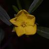 """Hibbertia monticola "",  Mountain Guinea Flower."