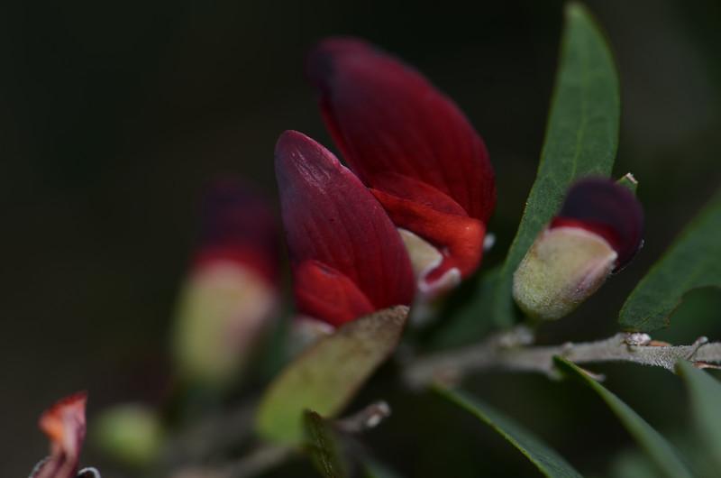"""Bossiaea rupicola"".  White forms are described, but I have never seen one."