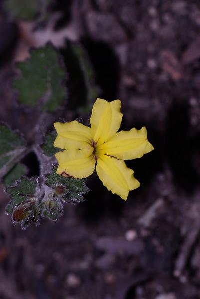 """Goodenia rotundifolia"""